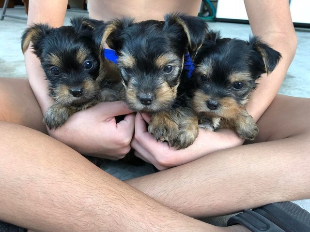AKC purebred Teacup Yorkie Puppies Available - Animals