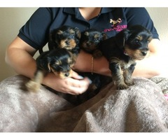 4 Home Trained Teacup Yorkie Puppies Available