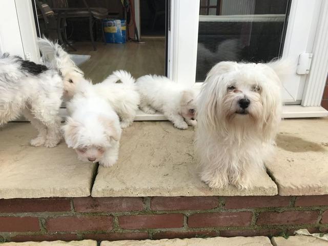 Exceptional AKC Coton De Tulear Puppies   free-classifieds-usa.com