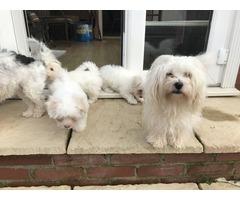 Exceptional AKC Coton De Tulear Puppies