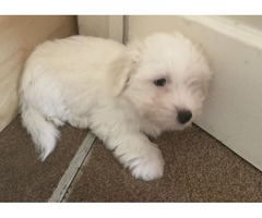 Absolutely Friendly Male & Female Coton De Tulear Puppies
