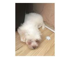 Fantastic White Female & Male Coton De Tulear puppies available