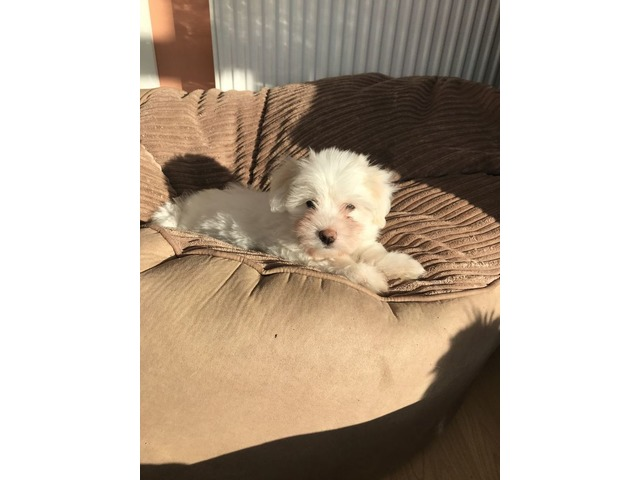 trained at home coton de tulear puppies available animals