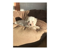 Trained AT Home Coton De Tulear Puppies available