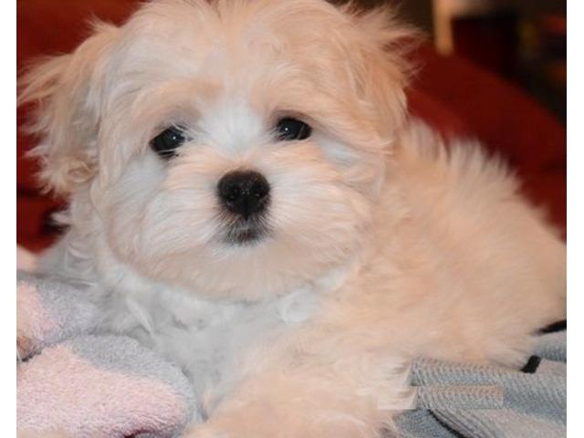 Adorable Teacup Maltese Puppies - Animals - Arkansas