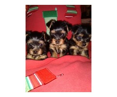 Beautiful Teacup Yorkshire terrier puppies