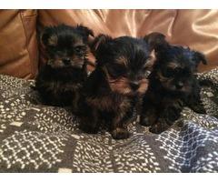 Gorgeous Teacup AKC Yorkie Puppies