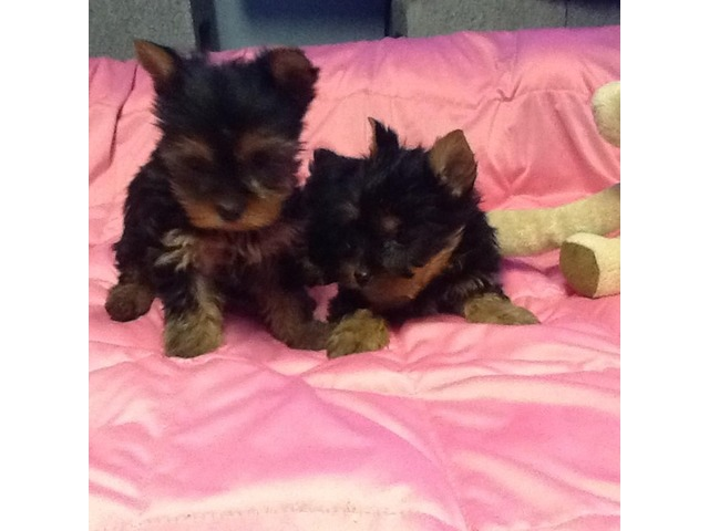 Akc Males & female teacup Yorkie puppies for sale - Animals