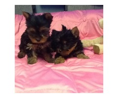 Akc Males & female teacup Yorkie puppies for sale