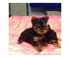 AKC 4 Teacup Yorkie Puppies For sale