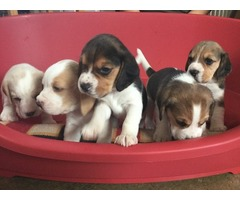 Beagles pups