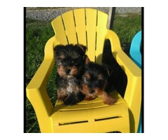 Males & Females Teacup Yorkie Puppies Available.