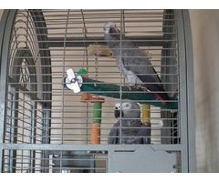 Talking DNA Congo African Grey Parrots