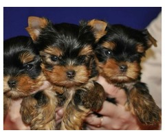 AKC Potty Trained Teacup Yorkie Puppies