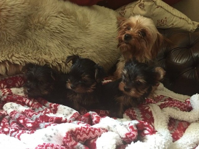 Akc Registered Teacup Yorkie Puppies Animals Richmond Virginia