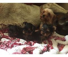 AKC registered Teacup Yorkie Puppies