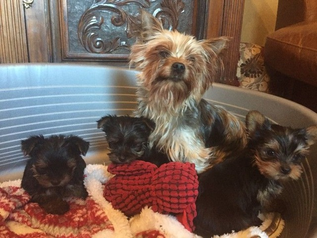 Akc Registered Teacup Yorkie Puppies Animals Richmond Virginia