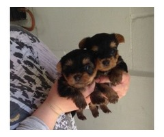 Home Trained  Teacup 4 AKC Yorkie Puppies