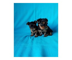ppies  AKC & CKC Registered Teacup Yorkie Puppies