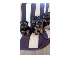 AKC 5 purebred Teacup Yorkie Puppies