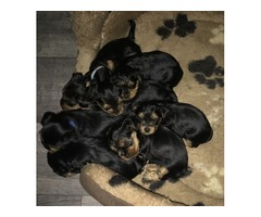 Beautiful AKC Teacup Yorkshire Terrier Puppies