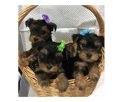 AKC Male & Females Yorkie Puppies Available