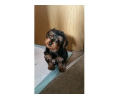 AKC health guarantee Teacup Yorkie Puppies