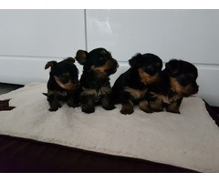 AKC Teacup Yorkie Puppies For sale!