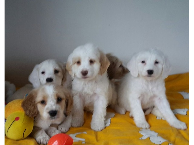 12 weeks old Cockapoo Puppies for Adoption | free-classifieds-usa.com