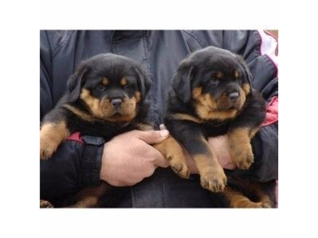 Rottweilers Puppies Animals Anderson Indiana Announcement 86450