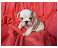 Adorable English Bulldog Puppies Available