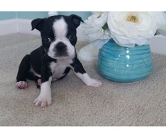 Black & White Female Boston Terrier Ready