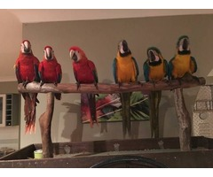 pair of Scarlet Macaws tame and talking