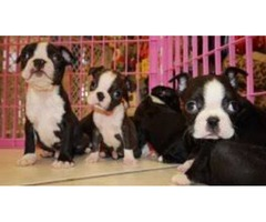 Akc /Pure Boston Terrier