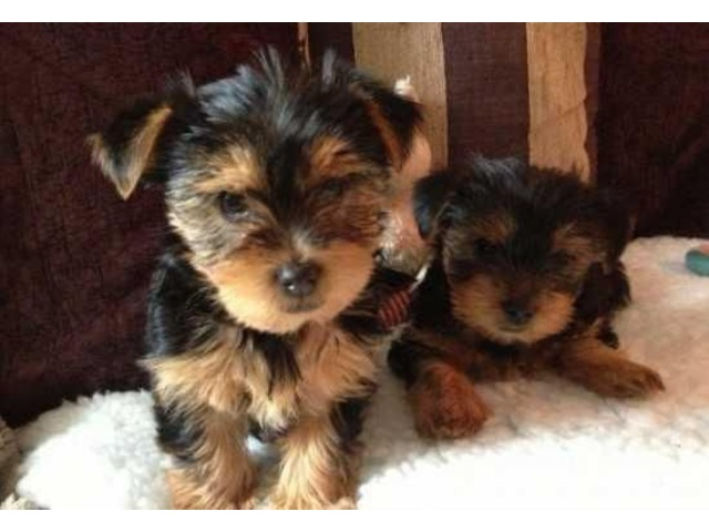 Male And Female Yorkie Puppies For Sale Animals Corona South