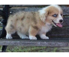 Well Trained Pembroke Welsh Corgi Puppies!!!