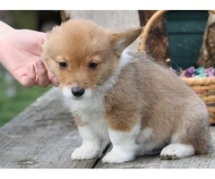 Tucker the Pembroke Welsh Corgi