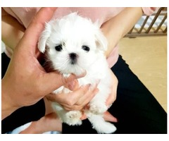 Purebred Maltese Puppies Available Call or Text (205) 660-0905 tt