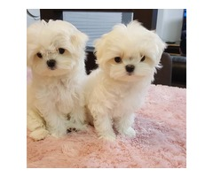 Purebred Maltese Puppies Available Call or Text (205) 660-0905 ff