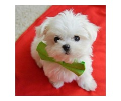 Purebred Maltese Puppies Available Call or Text (205) 660-0905 fs