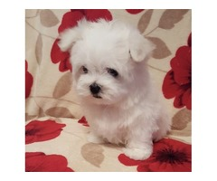 Purebred Maltese Puppies Available Call or Text (205) 660-0905 g