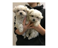 Purebred Maltese Puppies Available Call or Text (205) 660-0905 u