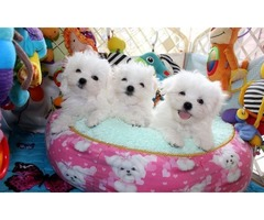 Purebred Maltese Puppies Available Call or Text (205) 660-0905 l