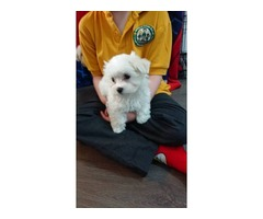Purebred Maltese Puppies Available Call or Text (205) 660-0905 h