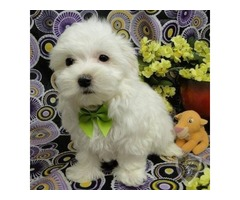 Purebred Maltese Puppies Available Call or Text (205) 660-0905 fvf