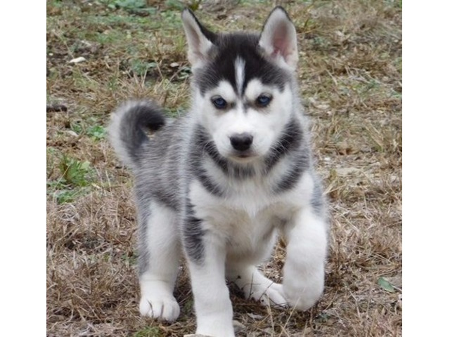 Home Trained Siberian Husky Puppies Available Animals Colorado