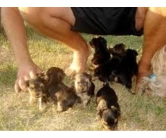 FANTASTIC MORKIE PUPPIES FOR SALE