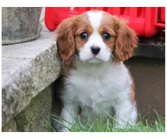 AKC Cavalier King Charles Spaniel Pups Must See 347-921-0869