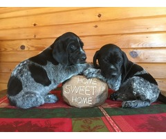 AKC German Shorthaired Pointer ready for New Home.