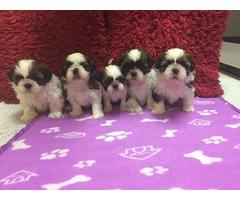 Shih Tzu Puppies Purebred